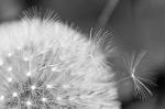 closeup dandelion