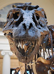"Close up of ""Sue"" T-Rex replica skull at the Field Museum of Natural History in Chicago, IL.  ScottRobertAnselmo"