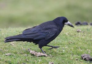 Corvus frugileus - Rook Photo: Brian Snelson Wikimedia Commons