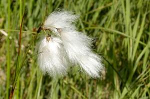 Bog Cotton Photo: James K. Lindsey Wikimedia Commons