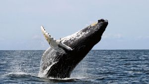 Whale, Stellwagen Bank National Marine Sanctuary Photo: Whit Welles Wikimedia Commons