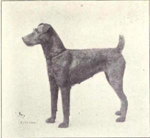 Irish Terrier - 1915 Wikimedia commons