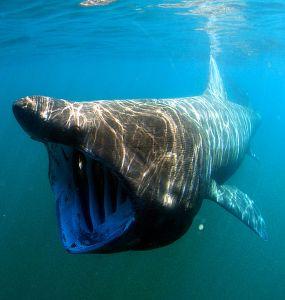 Photo: Greg Skomal/NOAA Fisheries Service Wikipedia.org