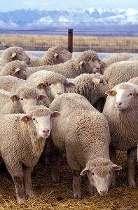 394px-Flock_of_sheep