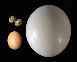 Ostrich egg, chicken egg and quail egg Photo: Rainer Zenz Wikimedia Commons