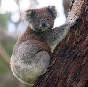 Koala Wikimedia commons