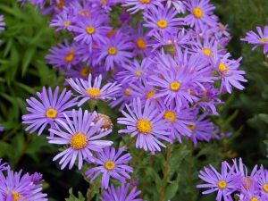 Aster amellus Wikimedia Commons