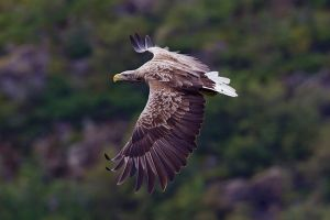 White tailed eagle Photo: Yathin S. Krishnappa  Wikimedia Commons