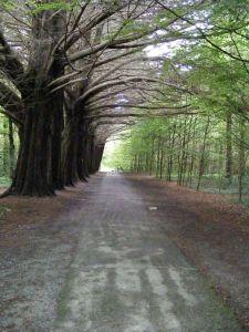 Coole Park, Gort Photo: AMcCarron Wikimedia Commons