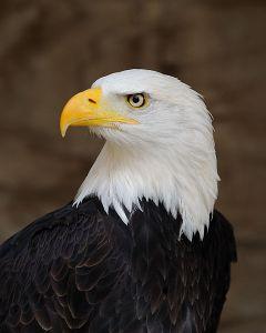 Bald Eagle W. Lloyd MacKenzie via Flickr @ http://www.flickr.com/photos/saffron_blaze/ Wikimedia Commons