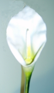 Easter Lily Wikimedia Commons