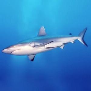 Grey Reef Shark Wikipedia.org