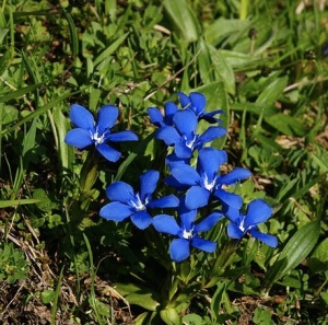 Burren Gentian Photo: Friedrich Böhringer  Wikimedia Commons -