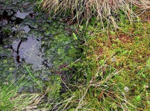 Sphagnum Moss  Photo: Wikimol Wikimedia Commons