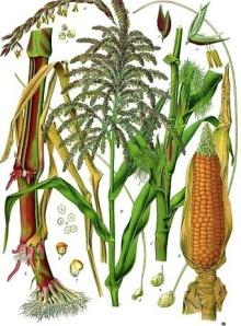 Maize Wikimedia Commons