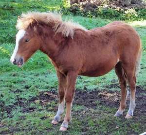 Kerry Bog Pony Photo: Jim Linwood  Wikimedia Commons
