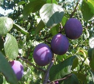 """""""Fruits Prunus domestica"""" Photo: YAMAMAYA.   Wikimedia Commons"""