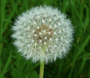 Dandelion: Photo: Greg Hume  Wikimedia Commons