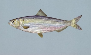 Blueback herring fish  Photo:  Duane Raver, U.S. Fish and Wildlife Service