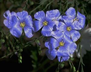 Flax flowers Photo:  D. Gordon E. Robertson Wikimedia Commons