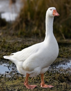 Domestic Goose Photo: Noodle snacks  Wikimedia Commons