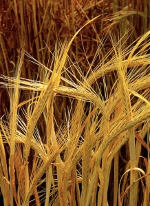 Hordeum-barley Wikimedia Commons