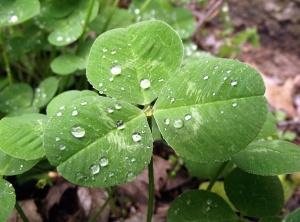 Trifolium  Photo: Supportstorm  Wikimedia Commons