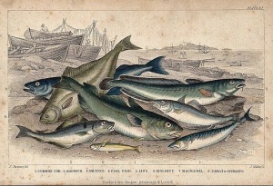 Eight different species of fish, including cod, haddock, halibut and mackerel, are lying on a beach. Coloured etching by J. Miller after J. Stewart. Wellcome Images; Creative Commons