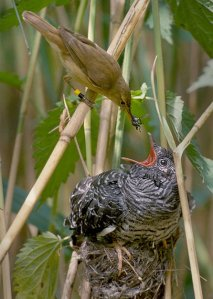 The Cuckoo Photo: Harald Olsen Wikimedia Commons