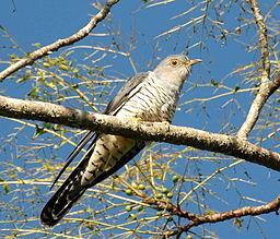 Cuckoo Photo: Aviceda Wikimedia Commons