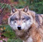 Grey Wolf  Wikimedia Commons -