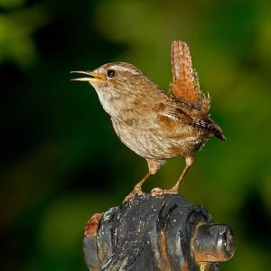 An Dreolín or, the Wren - nom de plume of Francis A Fahy Eurasian-Wren Photo: Andreas Trepte  Wikimedia Commons