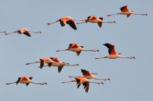Flamingo flock, Brazil Photo: Cláudio Dias Timm Wikimedia Commons.