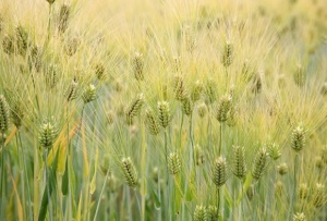 Barley (Hordeum vulgare)  Photo: Cliff  Wikimedia Commons