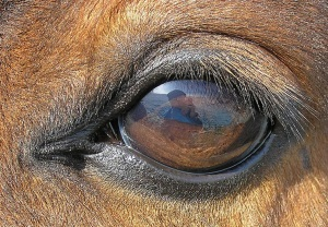 Pferdeauge  Photo: Waugsberg  Wikimedia Commons