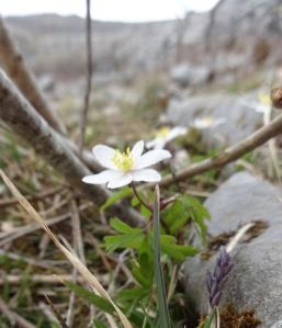 Burren flower Photo: EO'D