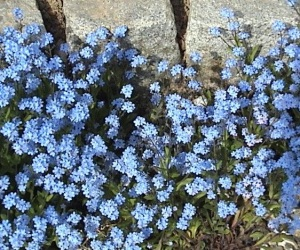 Forget-me-not Wikimedia Commons