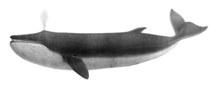 """""""The Finback"""" (Balaenoptera  physalus) from Charles Melville Scammon's Marine mammals of the western coast of North America (1874)"""