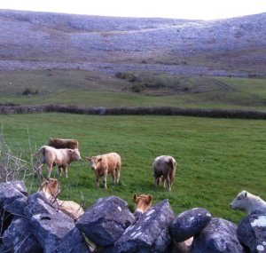 Burren cows Photo: EO'D